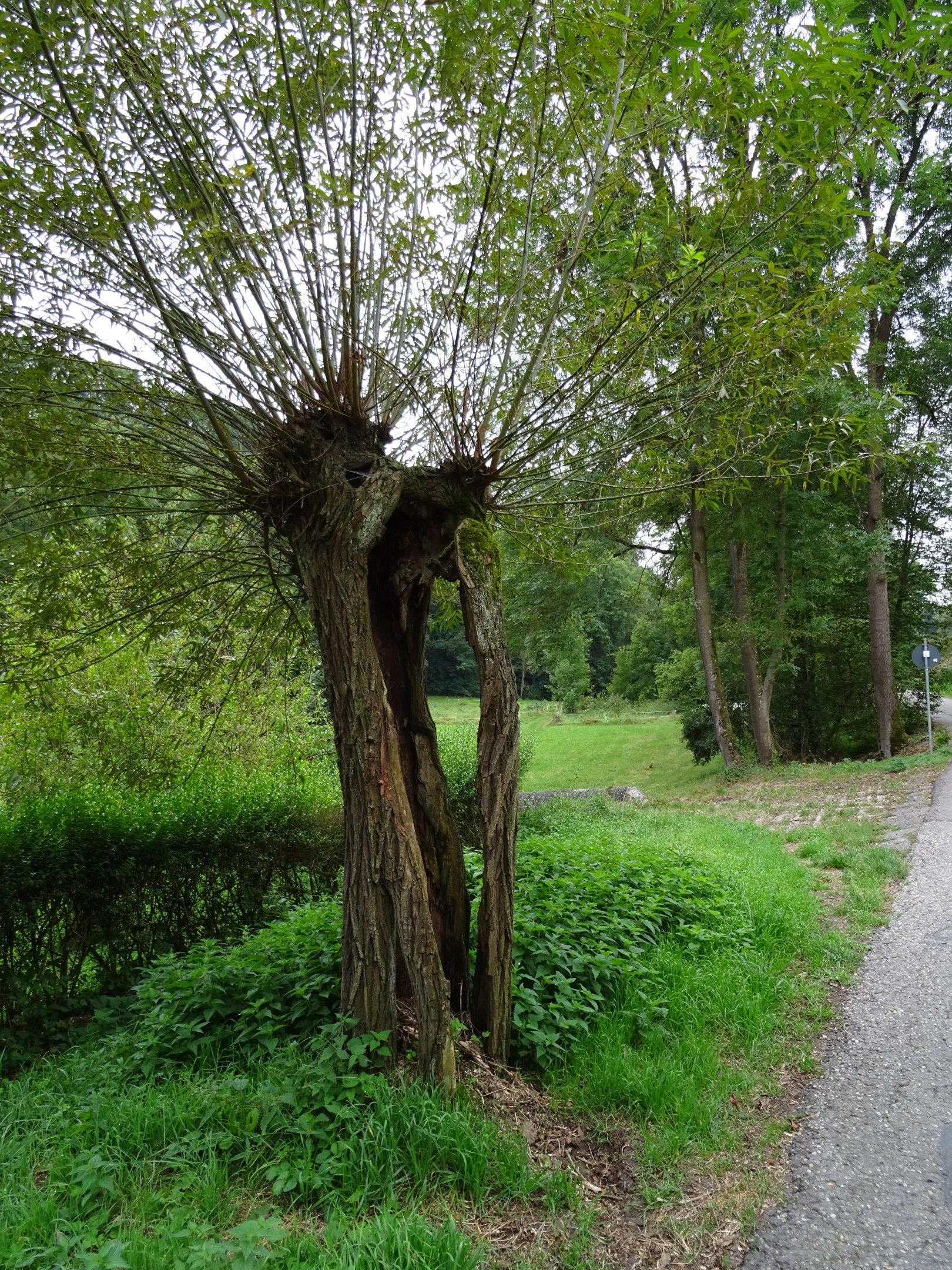 Baumruine im Glemstal